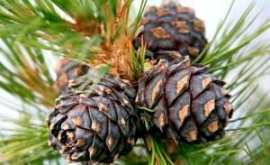 Полезные свойства жмыха кедрового ореха для здоровья