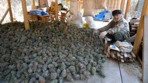 Орех кедровый собирают в сибирской тайге